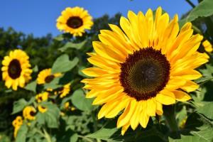 sunflower-1627193_1920-kopie